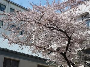 盛岡の桜が開花しました